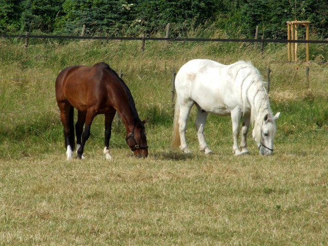 braun 2 pferde weiß