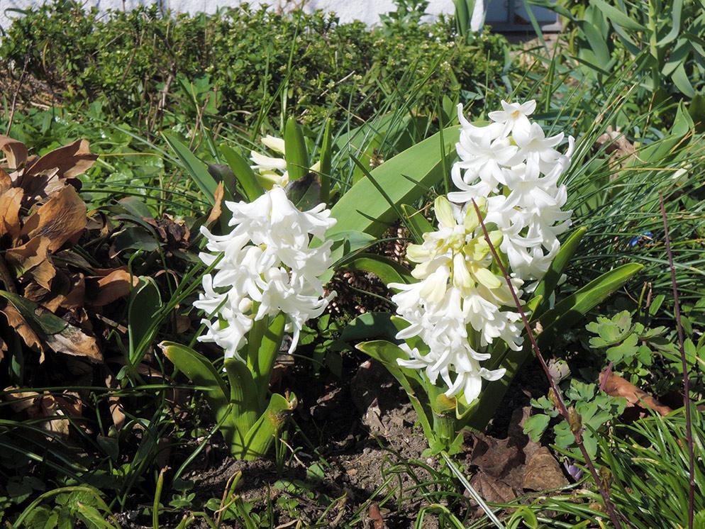 Frühlingsanfang 2014 in Schwerin – weiße Hyazinthen